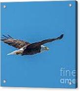Perfect Bald Eagle Acrylic Print