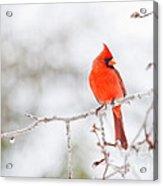 Perfect Cardinal Acrylic Print
