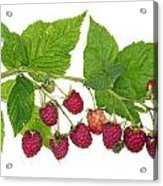Perfect Isolated Raspberry Acrylic Print