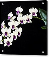 Perfect Phalaenopsis Orchid Poster Acrylic Print