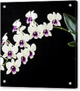 Perfect Phalaenopsis Orchid Acrylic Print