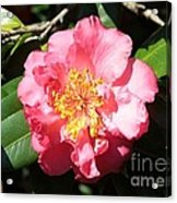 Perfect Pink Camellia Acrylic Print