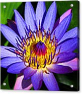 Perfect Water Lily Acrylic Print
