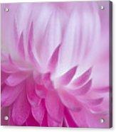 Perfectly Pink Acrylic Print