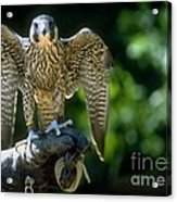 Perigrine Falcon Acrylic Print