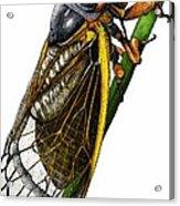 Periodical Cicada Acrylic Print