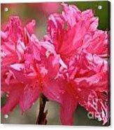 Periscope Pink Acrylic Print