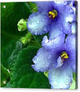 Periwinkle African Violets Acrylic Print