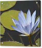 Periwinkle Lily Acrylic Print