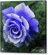 Periwinkle Rose Acrylic Print