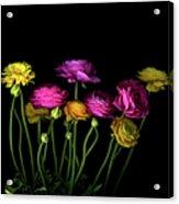 Persian Buttercups Ranunculus Asiaticus Acrylic Print