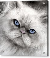Persian Cat With Blue Eyes Acrylic Print