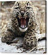 Persian Leopard Cub Snarling Acrylic Print