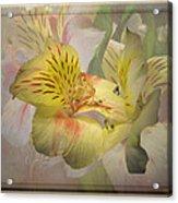 Peruvian Lily Framed Acrylic Print