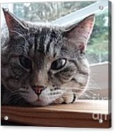 Pet Portrait - Lily The Cat Acrylic Print