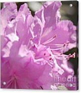 Petal Pink By Jrr Acrylic Print