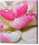 Petals And Droplets Acrylic Print
