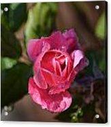 Petals Of Dew Acrylic Print