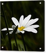 Petals Of White Acrylic Print