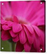 Petals Pink Acrylic Print
