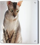 Peterbald Sphynx Cat Acrylic Print