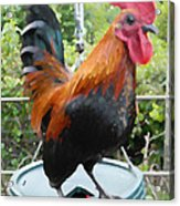 Petey The Old English Game Bantam Rooster Acrylic Print