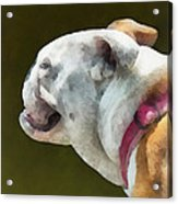 Pets - English Bulldog Profile Acrylic Print