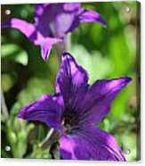 Petunia Hybrid From The Sparklers Mix Acrylic Print