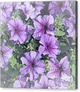 Petunia Patch Acrylic Print