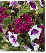 Petunias And Verbena I Acrylic Print