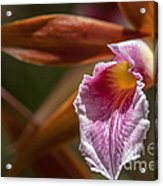 Phaius Tankervilleae Orchid Acrylic Print by Al Andersen