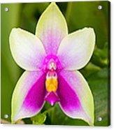 Phalaenopsis Bellina Acrylic Print