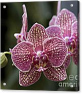 Phalaenopsis Helen Alice Mary 2346 Acrylic Print