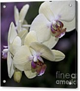 Phalaenopsis Ming Chao Dancer   8585 Acrylic Print