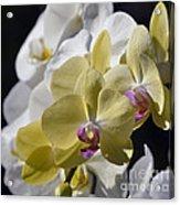 Phalaenopsis Orchids 2777 Acrylic Print