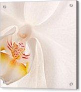 Phalaenopsis White Orchid Acrylic Print