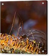 Phalangid Among The Moss Capsules Acrylic Print