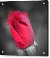 Phantom Rose Acrylic Print