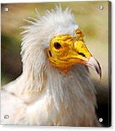 Pharaoh Chicken. Egyptian Vulture Acrylic Print