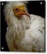 Pharaoh's Chicken Acrylic Print