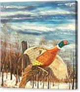 Pheasant 2 Acrylic Print