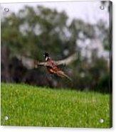 Pheasant Take Off Acrylic Print