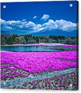 Phlox And Mt. Fuji Acrylic Print