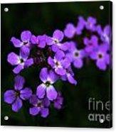 Phlox Blossoms Acrylic Print