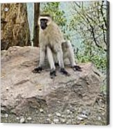 Photogenic Monkey Acrylic Print