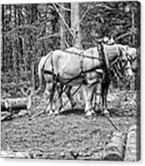 Photograph Of Horses Pulling Logs In Maine Forest Acrylic Print