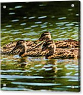 Photography Painting Of Mother And Her Ducklings Acrylic Print