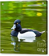 Photorealistic Crested Duck Acrylic Print by Scott Laffin