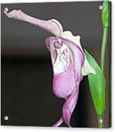 Phragmipedium - Phrag Frank Smith Orchid Acrylic Print