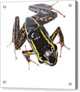 Phyllobates Lugubris With A Tadpole Acrylic Print by JP Lawrence